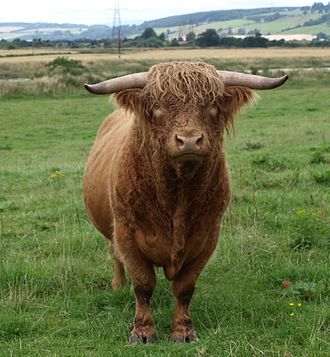 Bull - A Scottish Highland bull