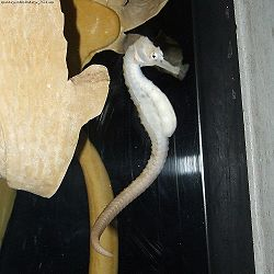 https://upload.wikimedia.org/wikipedia/commons/thumb/3/31/Hippocampus_abdominalis_(white).jpg/250px-Hippocampus_abdominalis_(white).jpg