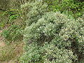 Hippophae rhamnoides01.jpg