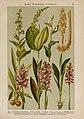 Hoffmann-Dennert botanischer Bilderatlas (Taf. 23) (6424992613).jpg