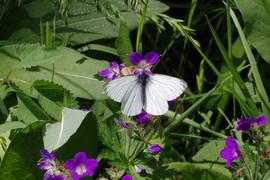 Hoher Vogelsberg Breungeshainer Heide Geiselstein Goldwiese Geranium pratense Pieris.png
