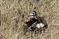 Hooded Vulture (juvenile) (28126338801).jpg