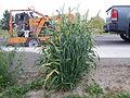 Hordeum vulgare (hooded 2-row barley) (21687188110).jpg