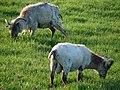 Horned Sheep - geograph.org.uk - 453525.jpg