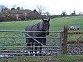 Horse in paddock opposite Manor Farm, 6d Handley - geograph.org.uk - 284855.jpg