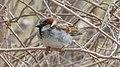 House Sparrow (Passer domesticus), Male - Kitchener, Ontario 02.jpg