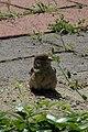 House Sparrow (Passer domesticus) - Guelph, Ontario.jpg