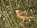 House Sparrow IMG 2806.jpg