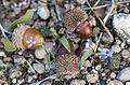 Hyacinthella sp. 11.jpg