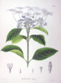 Hydrangea macrophylla SZ51.png