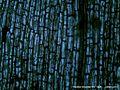 Hydrillaverticillataleaf100x1.jpg