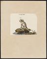 Hyla spec. - 1700-1880 - Print - Iconographia Zoologica - Special Collections University of Amsterdam - UBA01 IZ11500225.tif