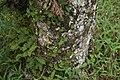 Hymenaea courbaril 12zz.jpg
