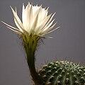 IMG 5173-Echinopsis ancistrophora.jpg