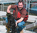 IMTA cultured mussels (Mytilus edulis) in the Bay of Fundy Canada.jpg