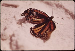 INJURED BUTTERFLY ON THE BEACH AT DESTIN, ON T...