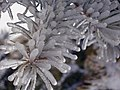 Icy Fir (371099174).jpg