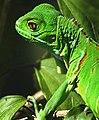 Iguana3.jpg