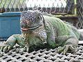 Iguana iguana Florida 2006.JPG