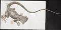 Iguana tuberculata - 1700-1880 - Print - Iconographia Zoologica - Special Collections University of Amsterdam - UBA01 IZ12800051.tif