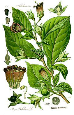 Schwarze Tollkirsche (Atropa belladonna), Illustration