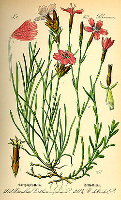 Illustration Dianthus deltoides0.jpg