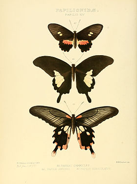 Illustrations of new species of exotic butterflies Papilio XIV.jpg