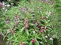 Impatiens balsamina Garden Balsam ბალზამური უკადრისა (2).jpg