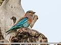 Indian Roller (Coracias benghalensis) (45679280505).jpg