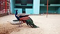 Indian peafowl at Chittagong Zoo (04).jpg