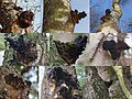 Inonotus obliquus or Fungus betulinus (Chaga, D= Chaga, F= Polypore oblique, NL= Berkenweerschijnzwam), brown spores, rather rare in Holland, here at birchtrees in Schaarsbergen. The charcoal coloured body is not the f - panoramio.jpg