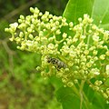 Insects Bee from Madayipara DSCN2148.jpg