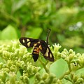 Insects Wasp from Madayipara DSCN2114.jpg