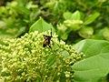 Insects Wasp from Madayipara DSCN2118.jpg