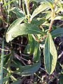 Inula britannica sl6.jpg