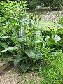 Inula helenium - Gardenology.org-IMG 2928 rbgs11jan.jpg
