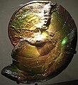 Iridescent Ammonite Fossil.JPG