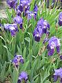 Iris germanica01.jpg