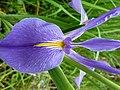 Iris giganticaerulea 772758.jpg