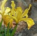 Iris innominata 3.jpg