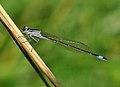 Ischnura elegans qtl13.jpg