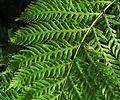 J20151217-0021—Woodwardia fimbriata—RPBG (23807003992).jpg