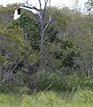 Jabiru female (8666895963).jpg