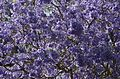 Jacaranda mimosifolia from anaimalai hills JEG6089.jpg