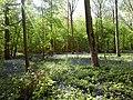 Jacinthe des bois ou Jacinthe sauvage.jpg