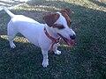 Jack.Terrier.jpg