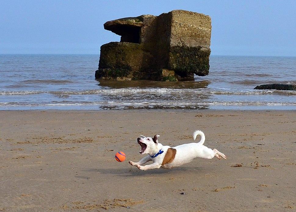 Jack Russell Terrier Eddi at the beach