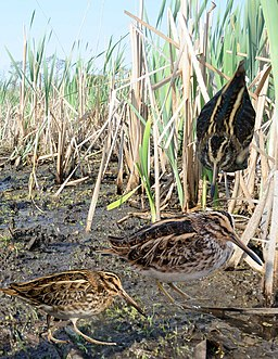 Jack Snipe from the Crossley ID Guide Britain and Ireland