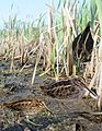 Jack Snipe from the Crossley ID Guide Britain and Ireland.jpg