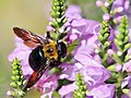 Japanese Carpenter Bee クマバチ On Physostegia Virginiana Flowers Obedience ハナトラノオ (226297597).jpeg